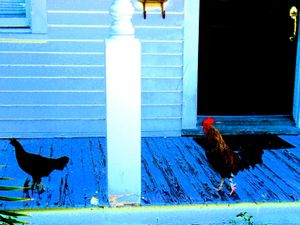 Rooster chasing hen in Key West 2