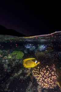 Coral spawning in the Gulf of Eilat and Aqaba
