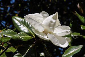 Magnolia Bud - South Carolina
