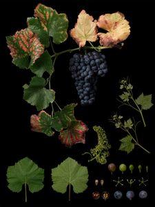 Vitis vinifera 'Pinot Noir'
