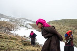 A family from Karang searches for yartsa gunbu at an altitude of 5000 meters in the Pulvari harvesting area at near-freezing temperatures. Upper Dolpo, Nepal, June 2017.