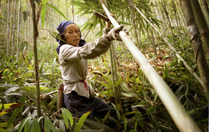 A female worker harvests a bamboo pole - Guangdong province, China.