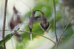 Colibri, Phaethornis Longuemareus