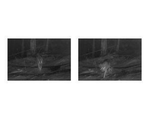 Wolves, still from FCC camera trap
