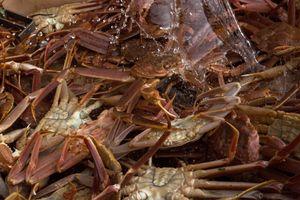 Snow crabs, Sisimiut