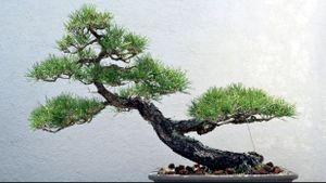 Bonsai Tree, National Arboretum
