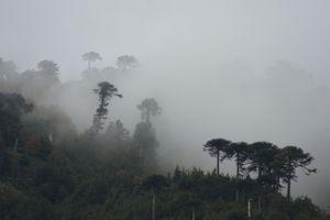 Araucarias on the fog
