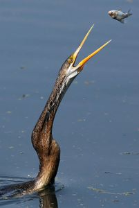 DARTER CATCHING FISH