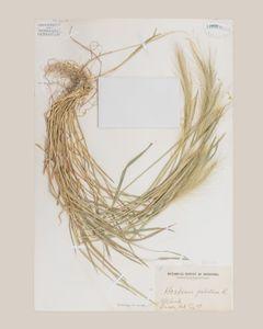 foxtail barley botanical specimen