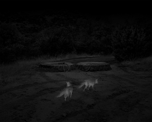 2 Gray Foxes, Border Patrol Access Road, San Rafael Valley, AZ