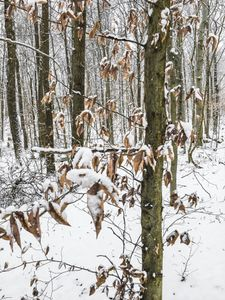 Untitled (Beech Trees), Deep River, CT, 12 30 17