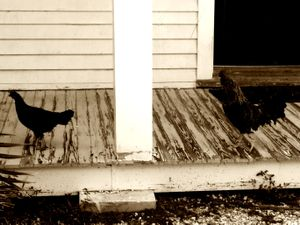 Rooster chasing hen in Key West 1