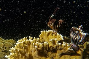Mass medusae release of fire corals