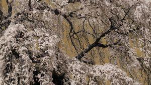Sakura no3
