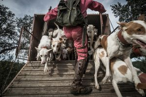 Nelson Cristeta loosing his pack of hunting dogs in the beginning of the hunt. November 2013 © Antonio Pedrosa