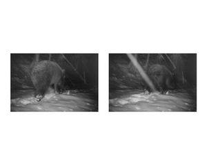 Bear, still from FCC camera trap