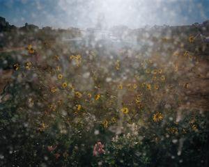 Sunflowers, Hotchkiss, Colorado, 2015