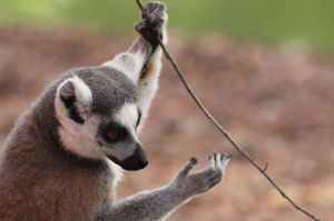 Lemur player