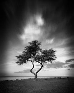 Beach Tree. Nanakuli, Hawaii. 2019