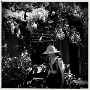 wisteria in the city