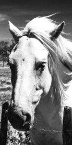 Camargue's horses