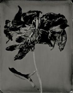 Tulipa Tenebris