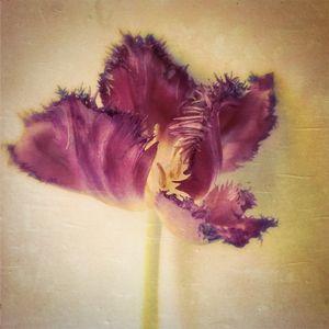 Tulip Dancer