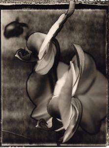 09 Phalaenopsis Redfan 'Grazia' © Frazier King