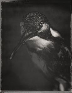 European Kingfisher, Alcedo atthis© David Ellingsen