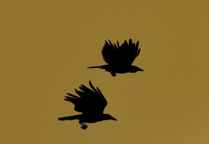 Sunrise Crows