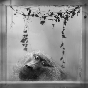Baboon in WIndow
