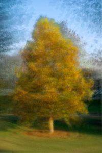 Liriodendron chinense (Tulip Tree)