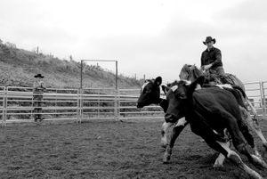 Brian Rowden herding cattle