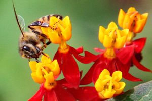 Honey bee pollinator on Tropical milkweed flowers
