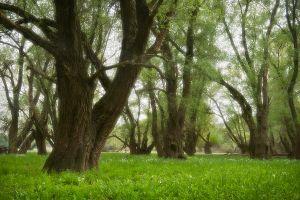 Willow gallery forest | Kopacki rit Nature Park (Croatia)