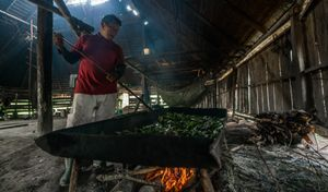 Drying Coca leaves