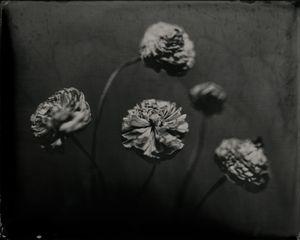 Ranunculus Quinque
