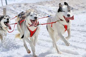 Chiens husky de trainaux en pleine course par une belle journée d'hiver
