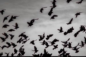 City Crows