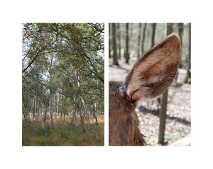 """""""Birch forest & Ear of Deer"""""""
