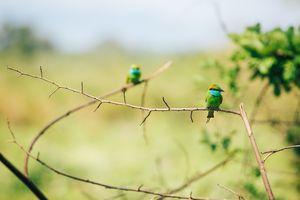 Green Bee Eater at Udawalawe National Park