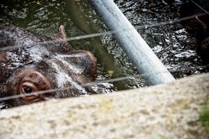 Amphibian Hippos