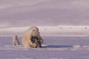 Polar bear raw predation