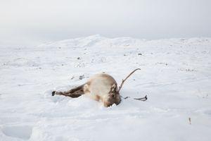 Reindeer, Saqqaq