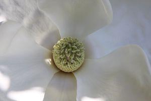 Magnolia Close-up - South Carolina