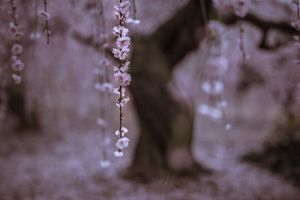 Sometimes rain (Weeping plum)