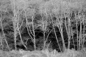 Dead Grove, Muir Woods