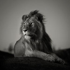 """Portrait of a nomad lion."" Masai mara, Kenya."