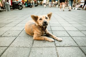 Bali Dogs