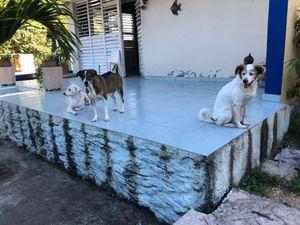 Dogs, Varadero